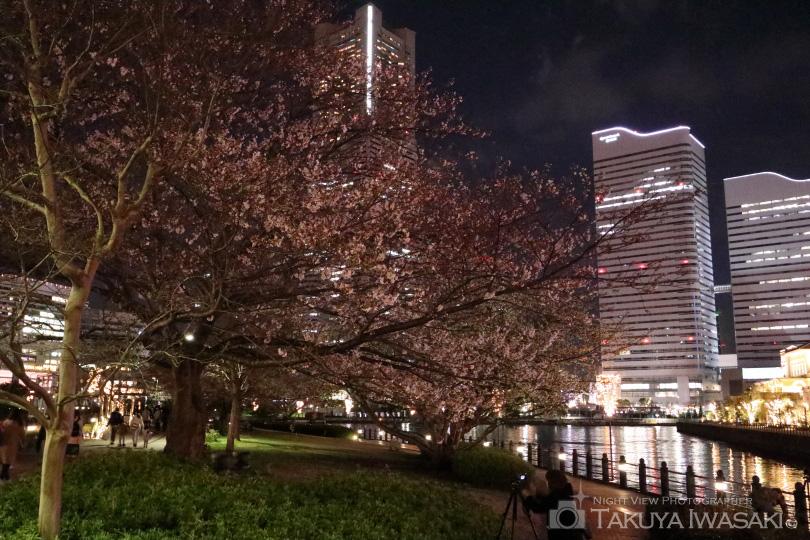 横浜みなとみらいの夜桜